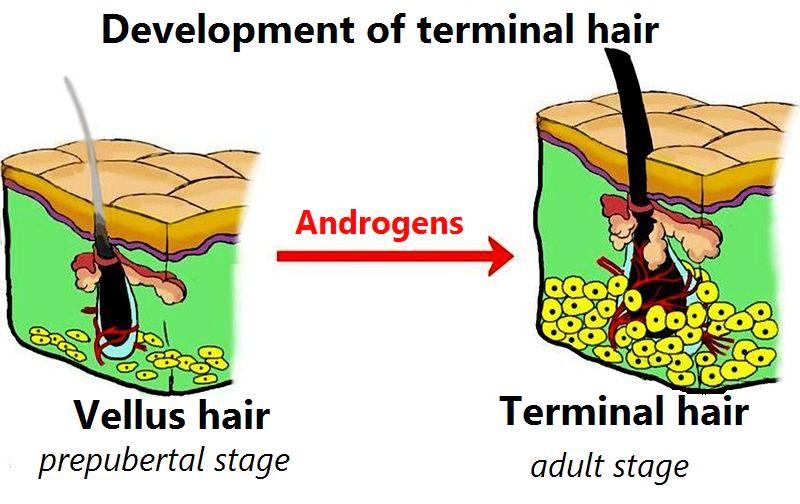 Hair Growth Vellus and Terminal